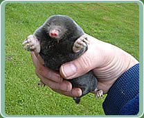 A mole in the hand ...